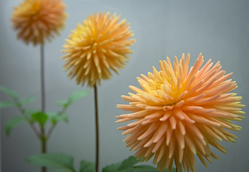 Two Orange Dahlias