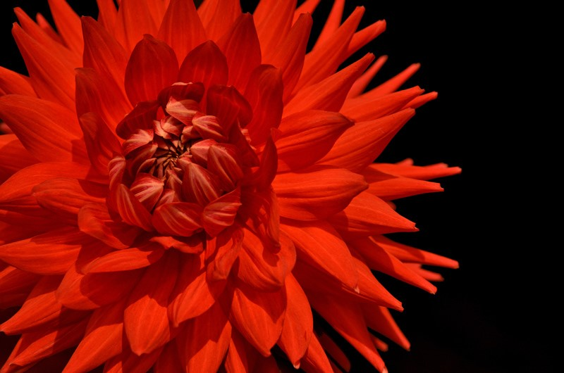Red Dahlia Closeup