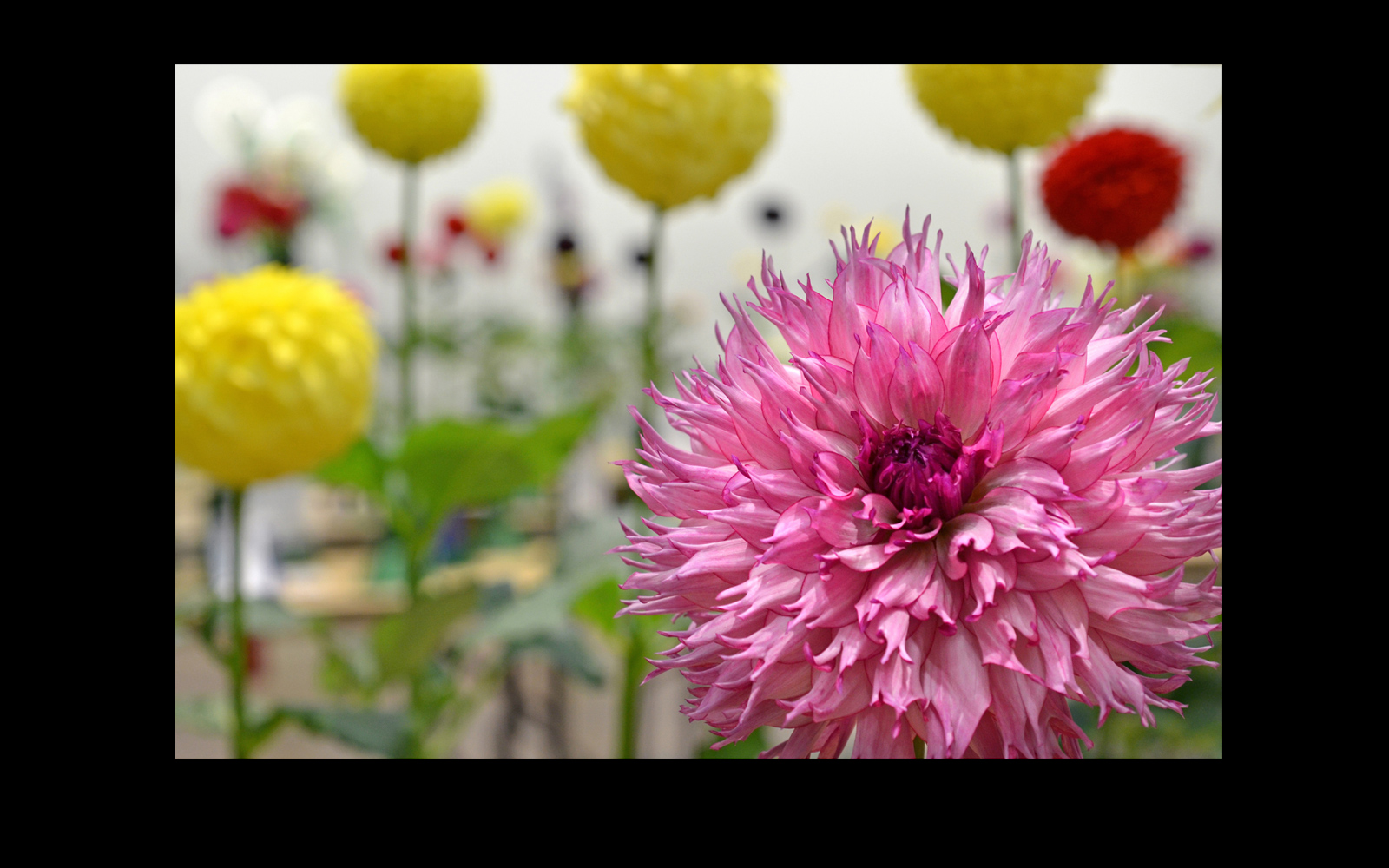 lumaRae Pink Dahlia